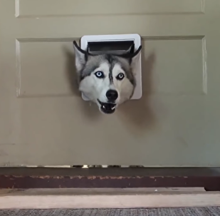 'Where Were You?!' Husky Scolds Owner Through Doggy Door