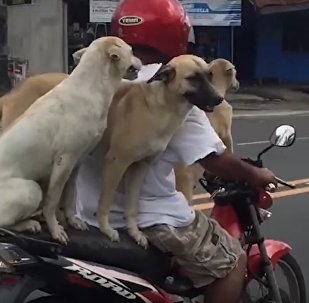 Three Dogs Riding Motorcycle