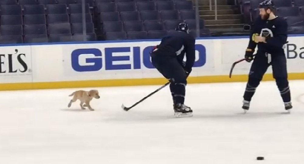 Hockey puppy