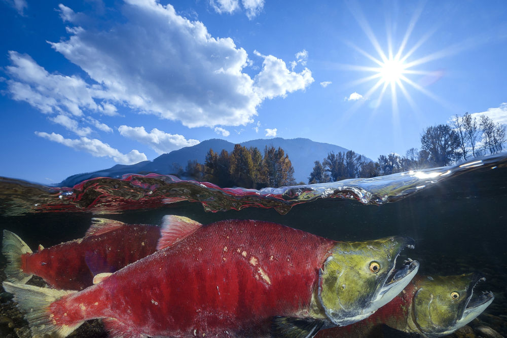 عکس Pacific Red Sockeye برنده بخش Wide-Angle Category