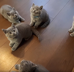 British Shorthair Litter Fixated by Bouncing Yo-yo